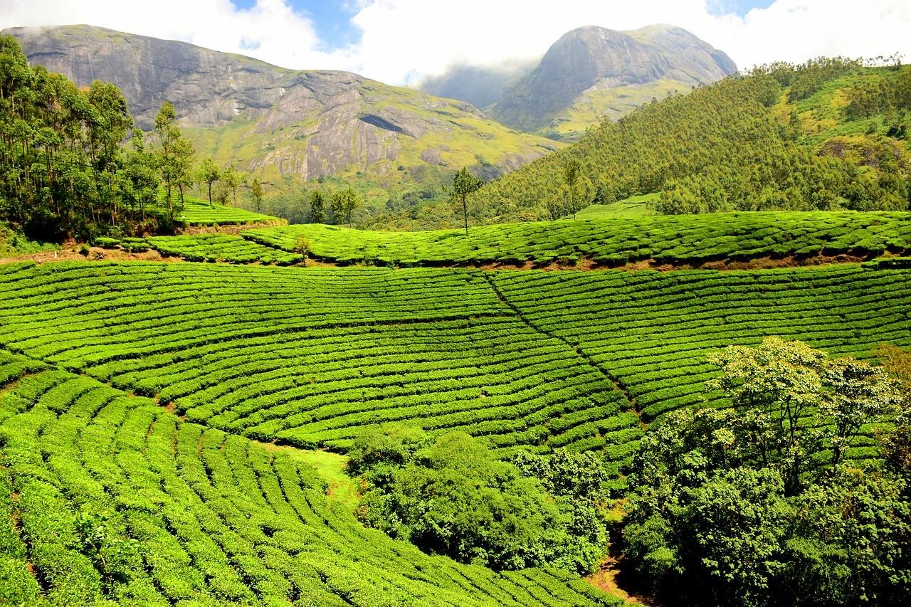 tea-plantation-1751369_1280