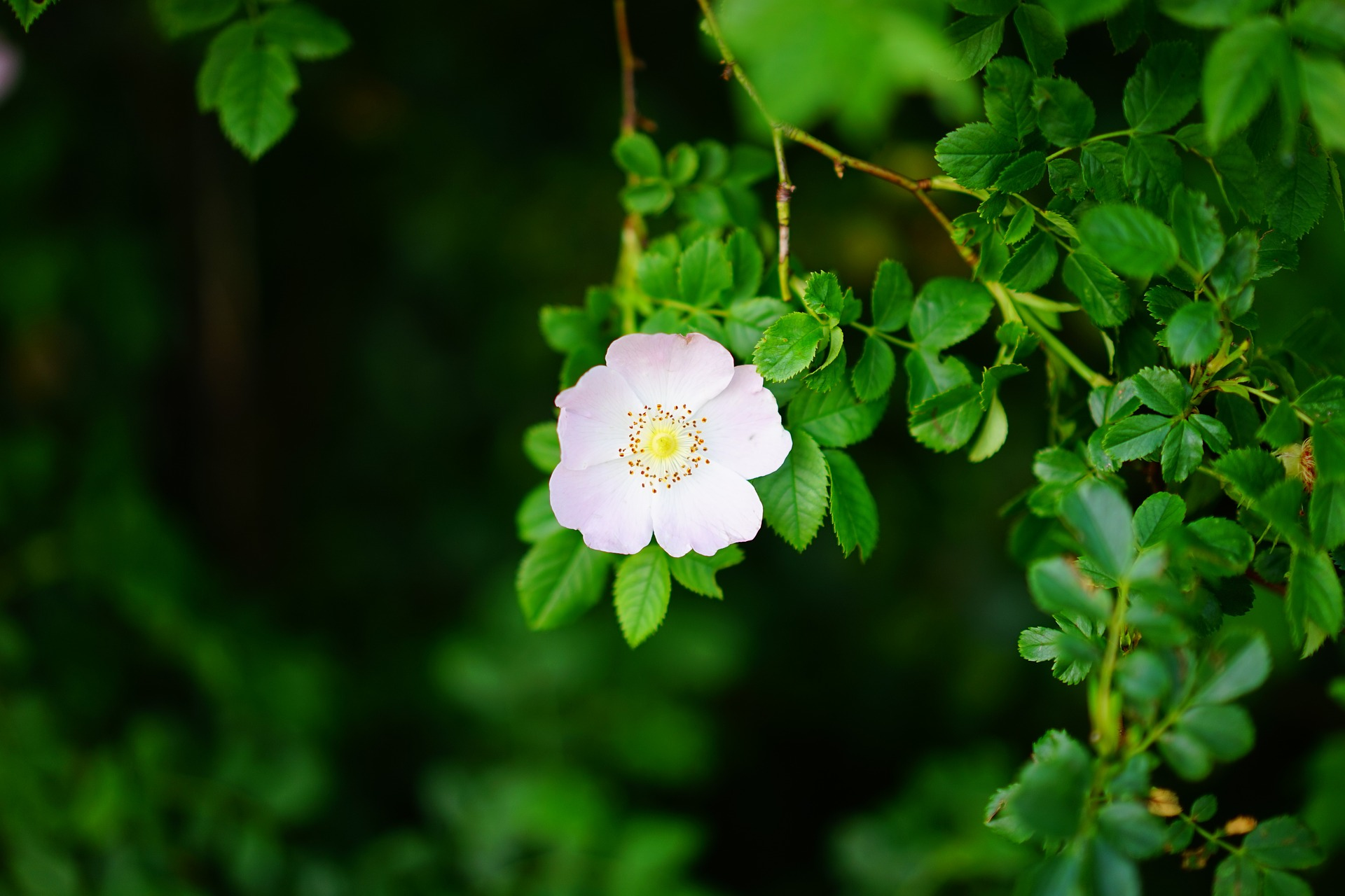 dog-rose-1464771_1920