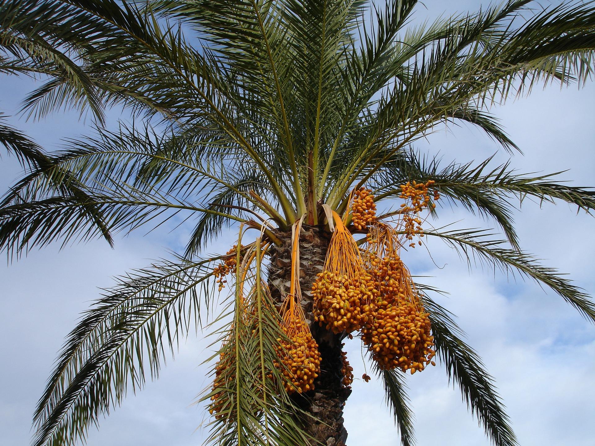 date-palm-223250_1920