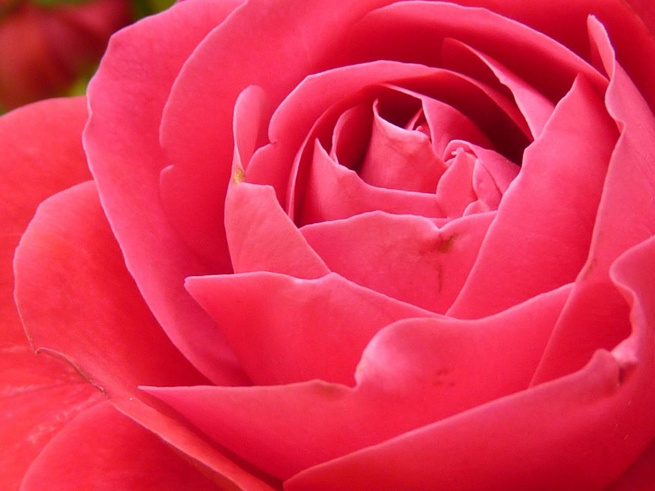 rose-7771_1920