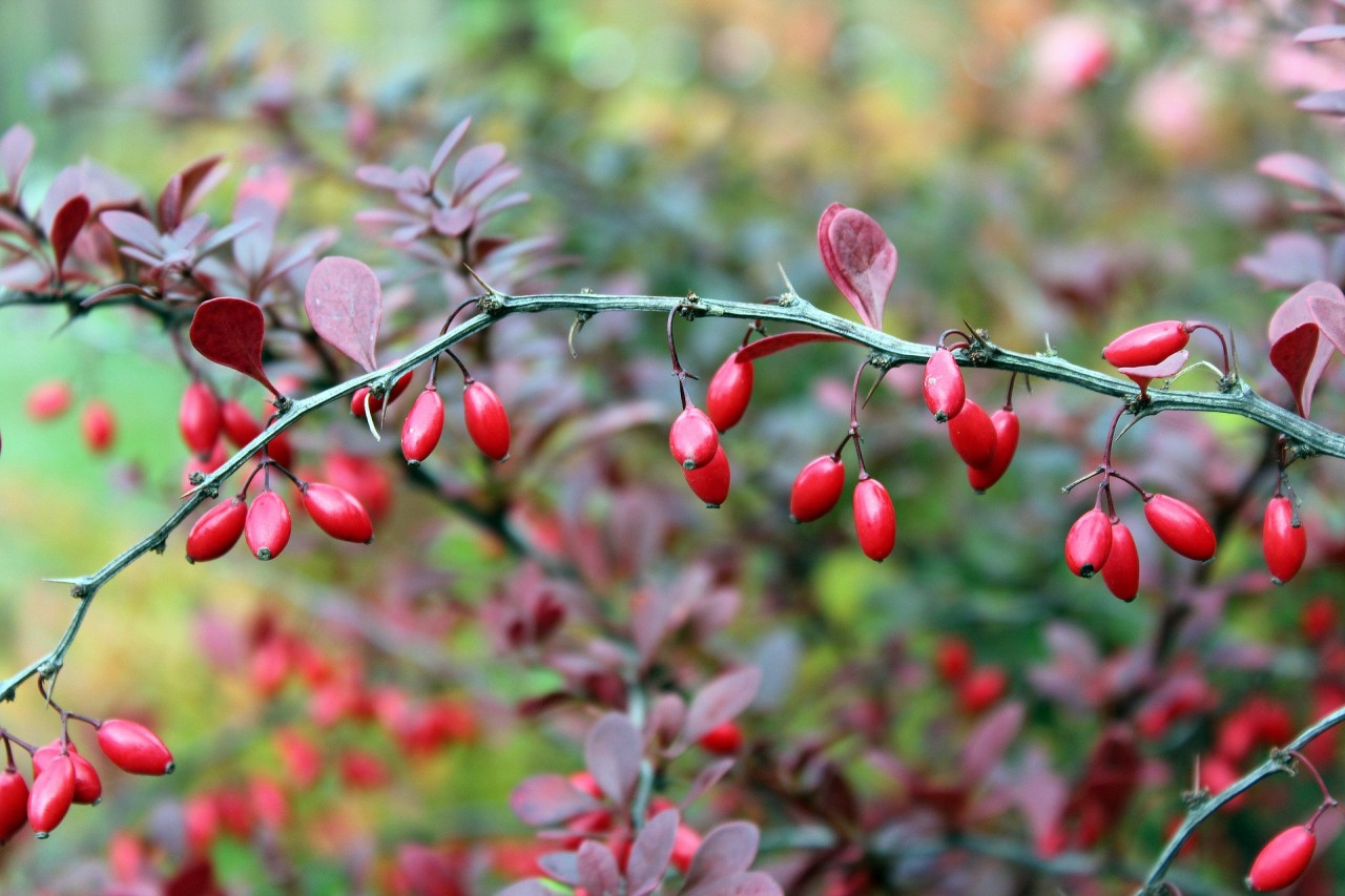 barberry-2824075_1920
