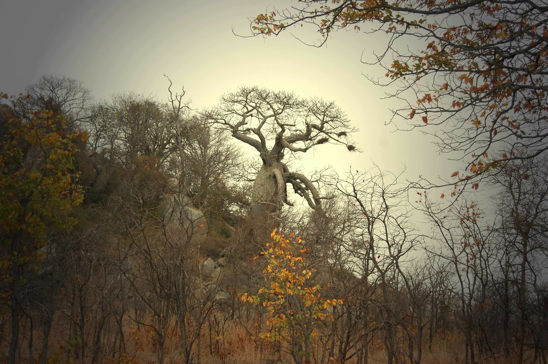 baobab-tree-277427_1920