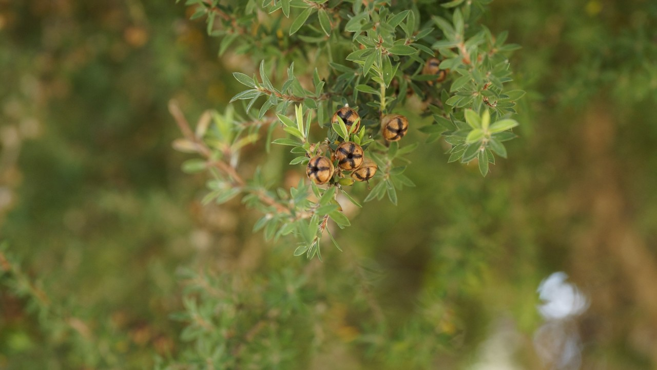 tea-tree-426543_1920